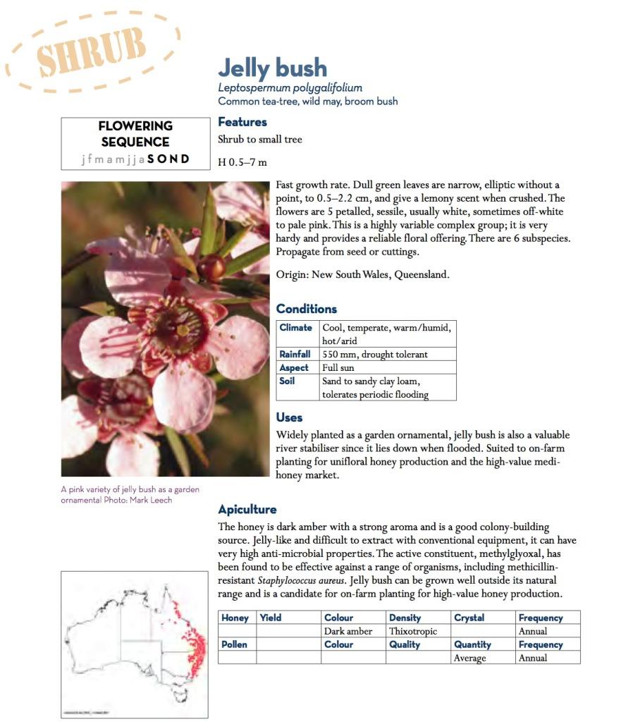 jelly bush
