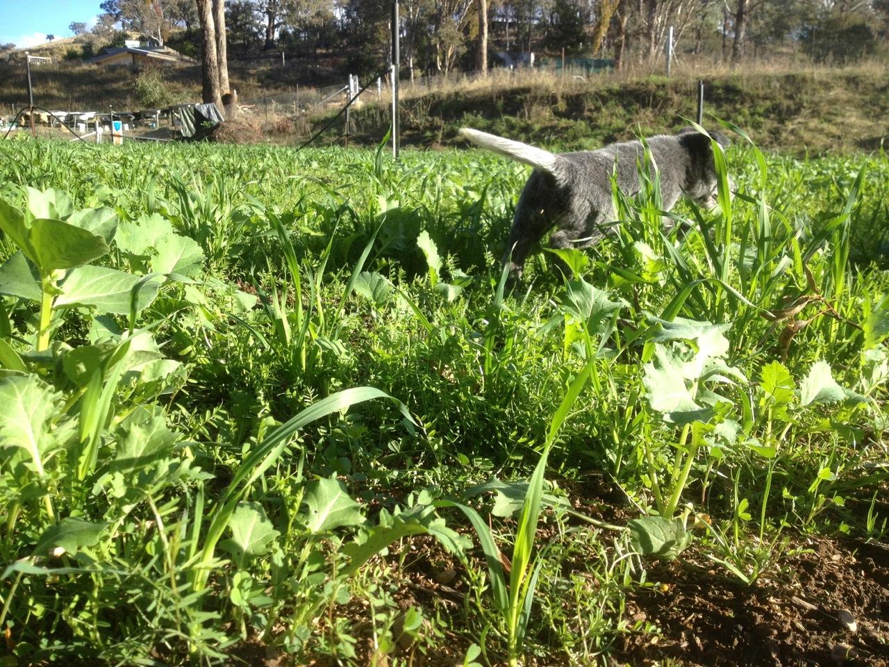 Green manures rising in the market garden.