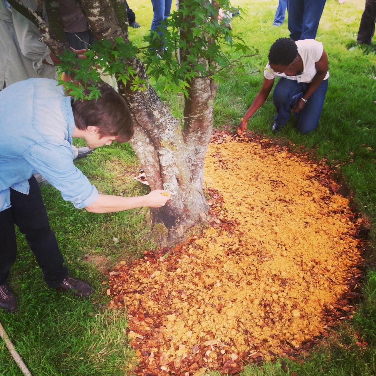 Making a mushroom garden with sawdust spawn