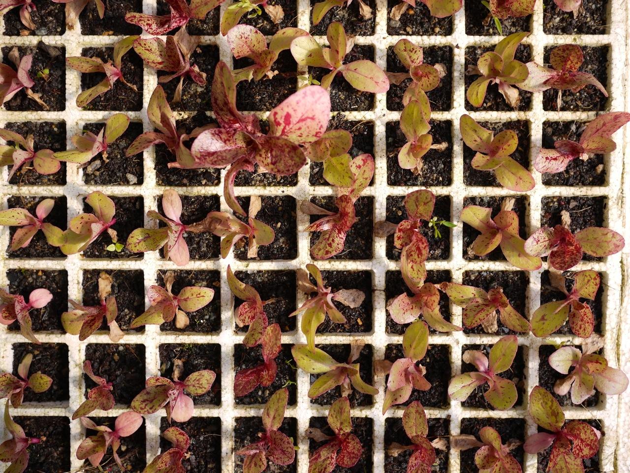 1309 seedlings - 4